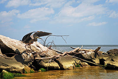 Great Blue Heron Wings Outstretched Poster