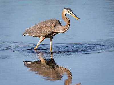Poster featuring the photograph Great Blue Heron With A Small Meal by Ricky L Jones