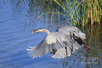 Great Blue Heron With Frog In Flight Poster by J McCombie