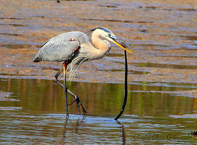 Poster featuring the photograph Great Blue Heron Wrestles A Snake by Barbara Bowen