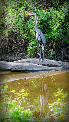 Great Blue Heron - Wye Mills Poster by Brian Wallace