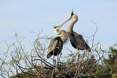 Great-blue Herons On Nest At The Venice Rookery, Florida Poster
