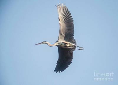 Poster featuring the photograph Great Blue On Final by David Bearden