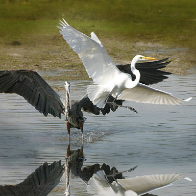 Great Blue Vs. Great White Egret Poster