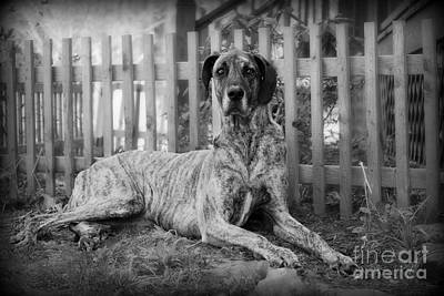 Poster featuring the photograph Great Dane Rufus by Lila Fisher-Wenzel
