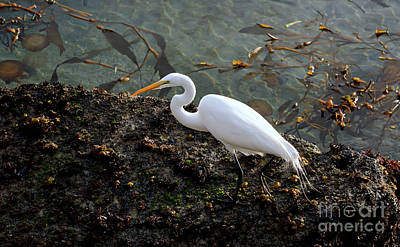 Great Egret At A Low Tide Poster