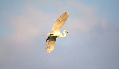 Great Egret Bathed In Golden Sunlight Poster