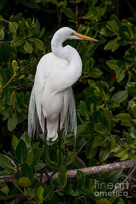 Poster featuring the photograph Great Egret by Chris Scroggins