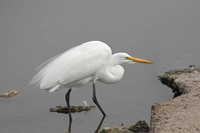 Great Egret Crouching Poster