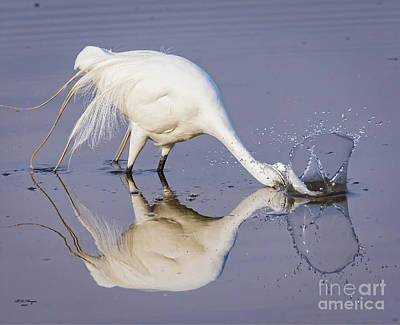 Great Egret Dipping For Food Poster