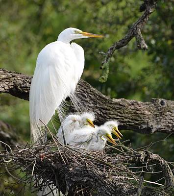Great Egret Family  Poster