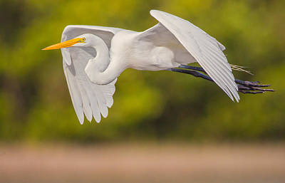 Great Egret Folded Wings Poster by Andres Leon