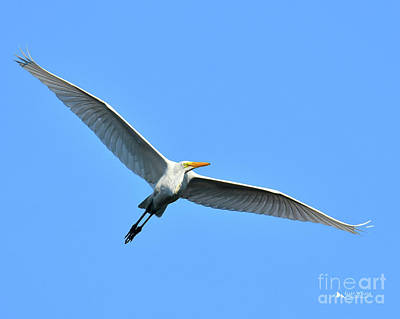 Great Egret Poster by Gary Walker