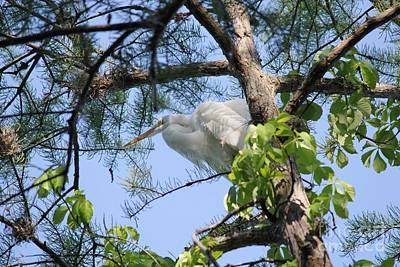 Great Egret In Breeding Plumage Poster