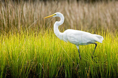 Poster featuring the photograph Great Egret In Cedar Point Marsh by Bob Decker