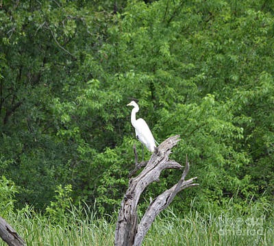 Great Egret In Dead Tree Poster by Ruth Housley