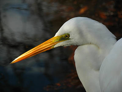 Great Egret Portrait Poster by Juergen Roth