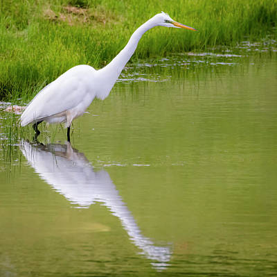 Poster featuring the photograph Great Egret Ready To Pounce by Ricky L Jones