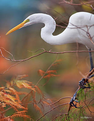 Great Egret Poster by Tim Fitzharris