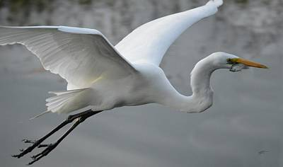 Great Egret With Fish Poster