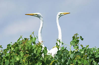 Great Egrets On The Lookout Poster by Ellie Teramoto