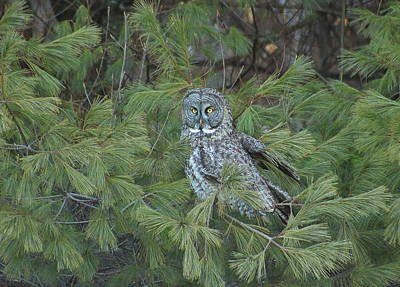 Great Gray Owl In Pine Tree Poster by John Burk