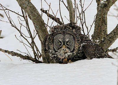 Great Grey Owl And Vole Poster by Sam Amato