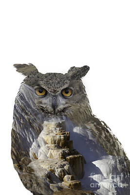 Great Horned Owl And Mammoth Hot Springs Poster
