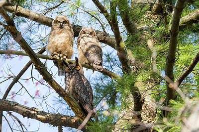Great Horned Owl Family Poster