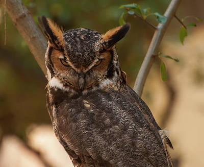Great Horned Owl In A Tree 2 Poster by Chris Flees