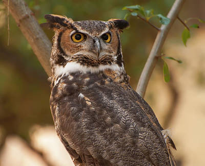 Great Horned Owl In A Tree 3 Poster by Chris Flees