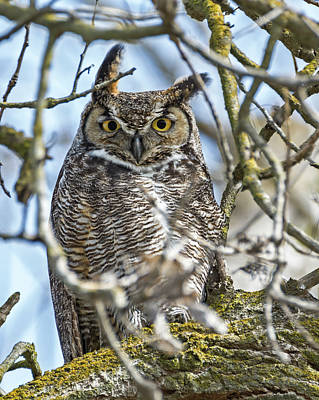 Great Horned Owl Poster by Loree Johnson