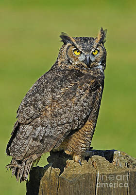 Great Horned Owl... Poster