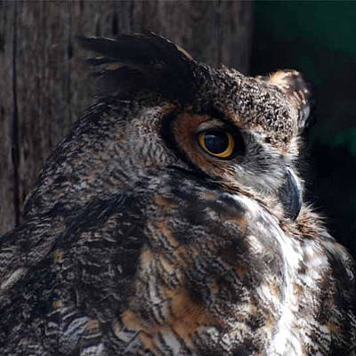 Great Horned Owl Poster by Paul Ward