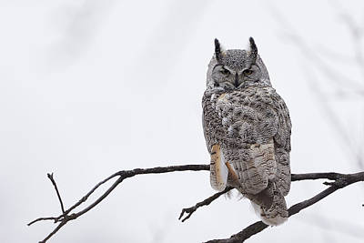 Great Horned Owl - White Morph Poster by Jestephotography Ltd