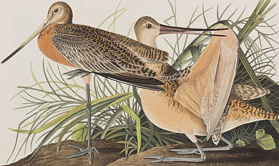 Great Marbled Godwit Poster by John James Audubon