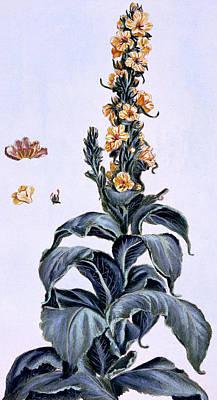 Great Mullein Poster by Pierre-Joseph Buchoz