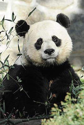 Great Panda II Poster