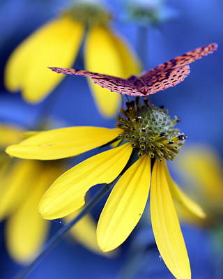 Great Spangled Fritillary On Yellow Coneflower Poster