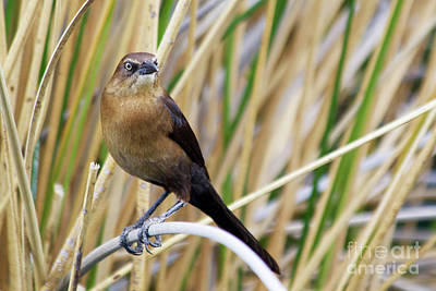 Great-tailed Grackle Poster by Afrodita Ellerman
