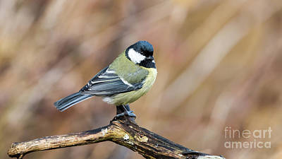 Great Tit In Fall Poster
