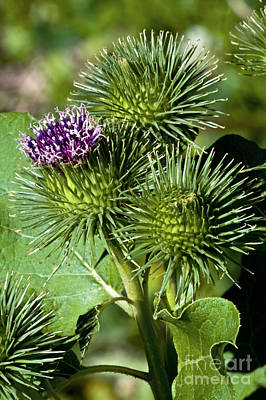 Greater Burdock In Bloom Poster by Dr. Antoni Agelet