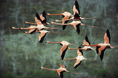 Greater Flamingo Phoenicopterus Ruber Poster by Tui De Roy