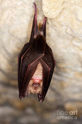 Greater Horseshoe Bat R. Ferrumequinum Poster by Gerard Lacz