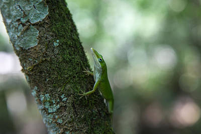 Green Anole Poster by Christopher L Thomley