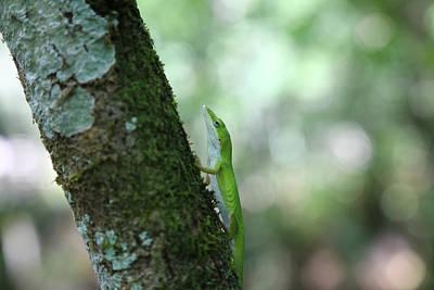 Green Anole Climbing Poster
