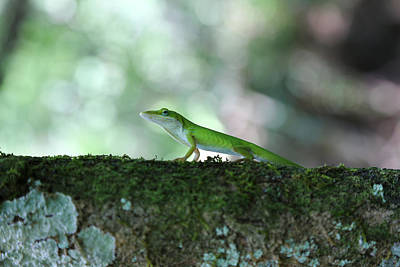 Green Anole Posing Poster by Christopher L Thomley