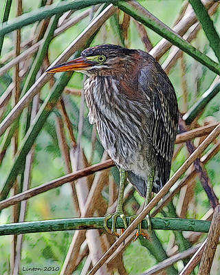 Green-backed Heron Poster by Larry Linton