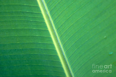 Green Banana Leaf Poster by Dana Edmunds - Printscapes