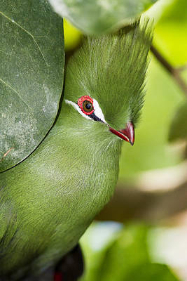 Green Turaco Bird Portrait Poster